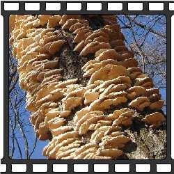 грибы растущие на дубах фото