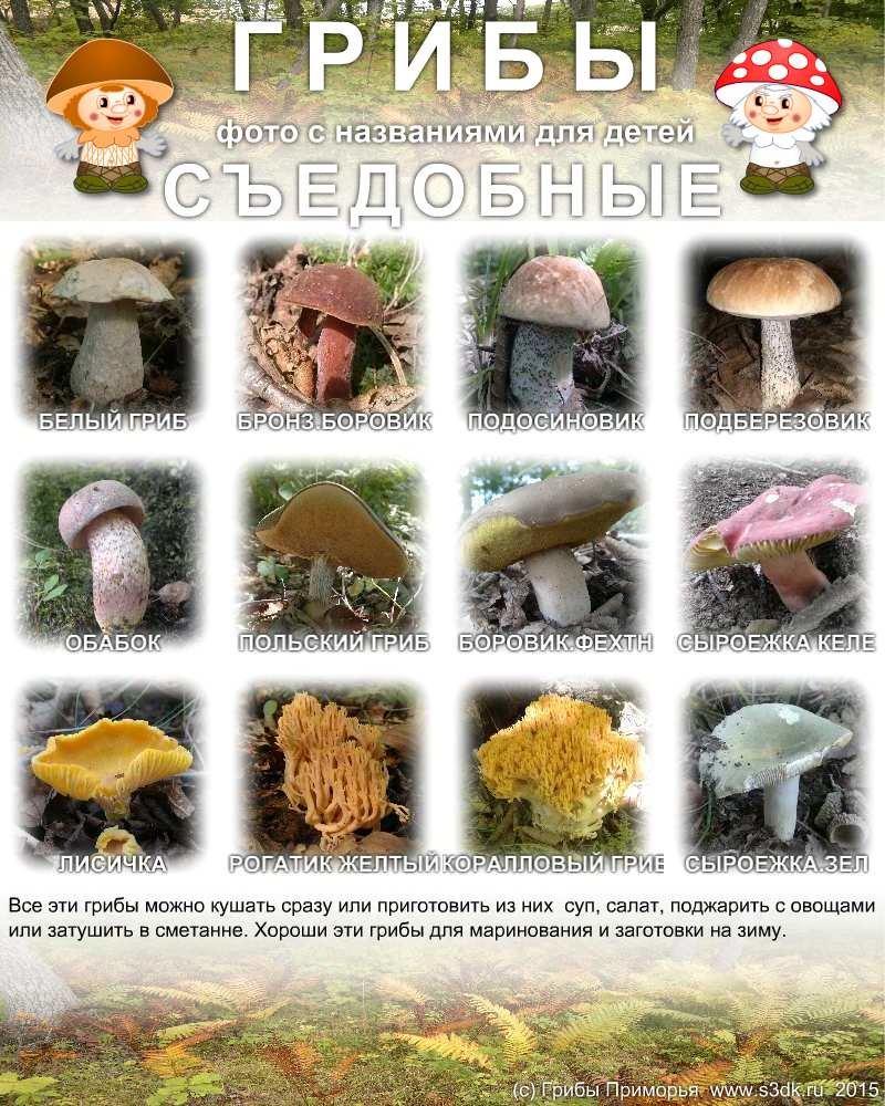 грибы фото и названия грибы